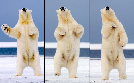 Несколько па. Танцующий медведь на Аляске. (Фото Steven Kazlowski):